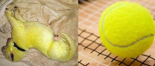 Собака родила восемь щенков. Всё бы ничего, но один из них оказался цвета спелого лимона