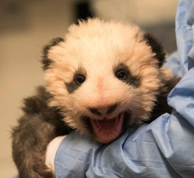 Маленький пушистый детеныш панды из французского зоопарка