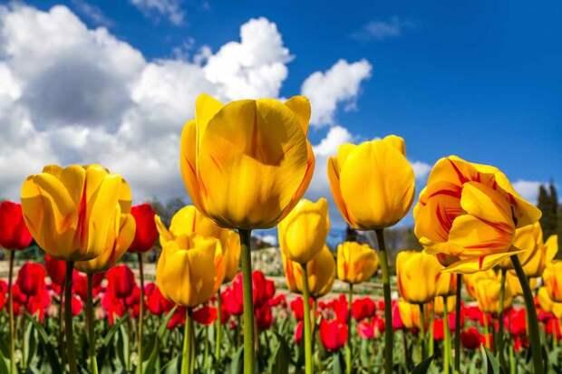 Как правильно посадить тюльпаны в грунт