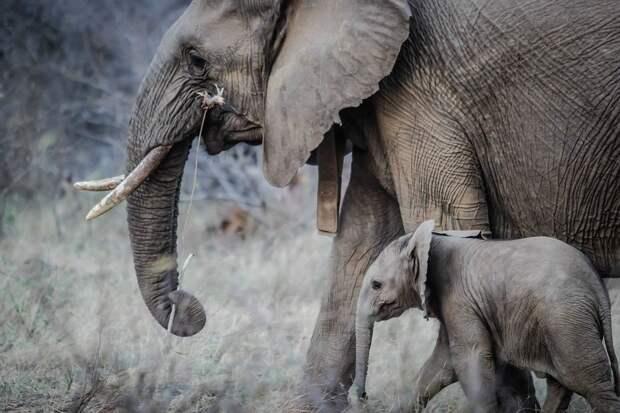 Индийские слоны спасли детеныша и стали звездами интернета