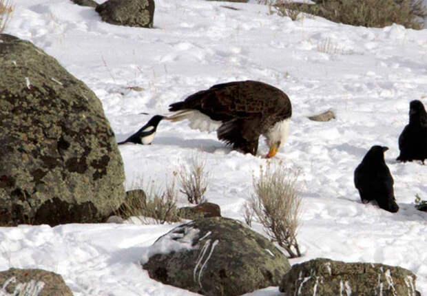 Очередной пострадавший хвост вороны, животные, птицы, фото