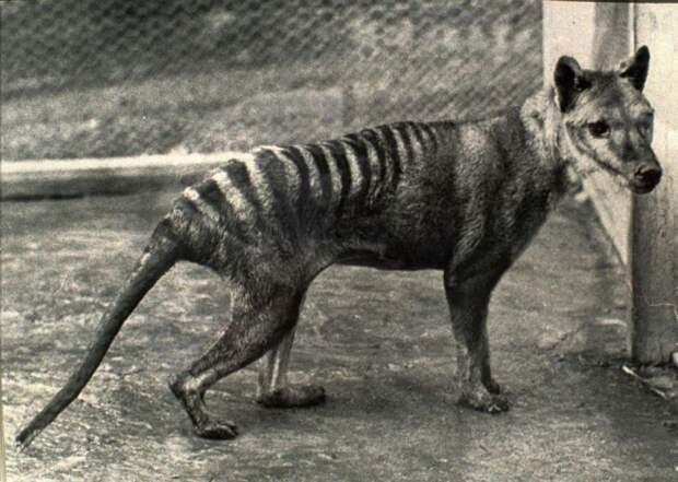 Последний в мире тигр стал жертвой халатности: в зоопарке к нему относились с пренебрежением.