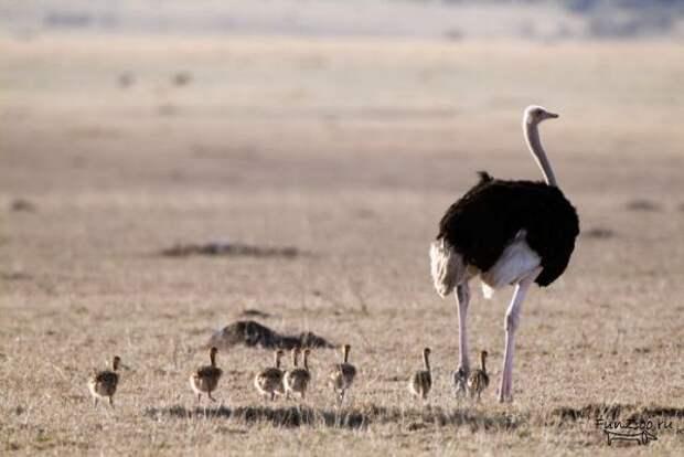 страусята с родителем
