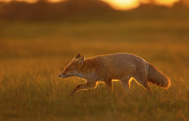 Red Fox at Sunset by Dalia Kvedaraite on 500px.com