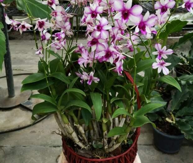 Как вырастить орхидею в корзине