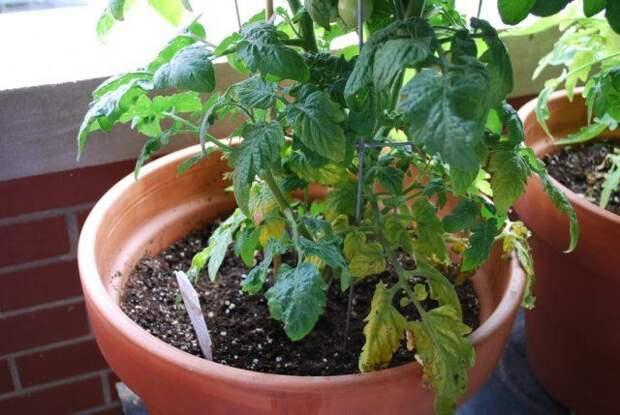 желтеют листья помидор