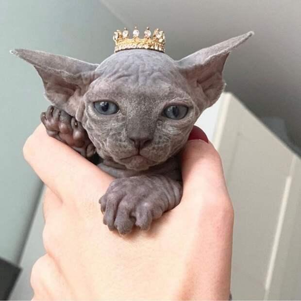 7 фото котят сфинксов, после которых их трудно не полюбить