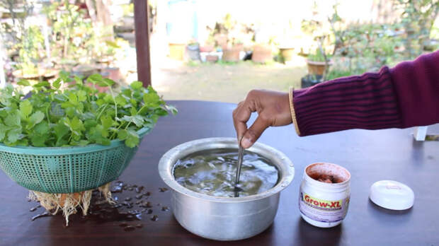 Удобный и простой метод выращивания кинзы дома без земли