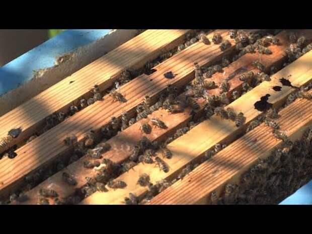 В Севастополе ветеринары обследуют пчелиные пасеки (СЮЖЕТ)