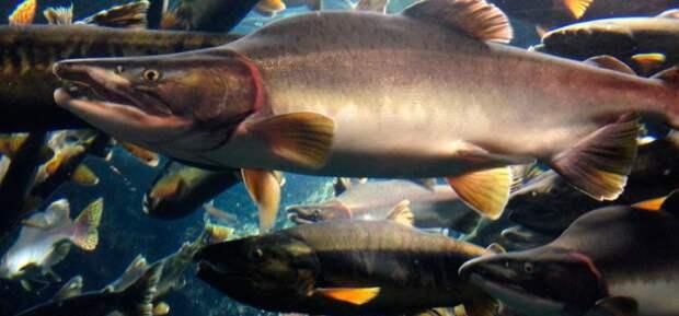 Горбуша - польза и вред для организма - Охота и рыбалка