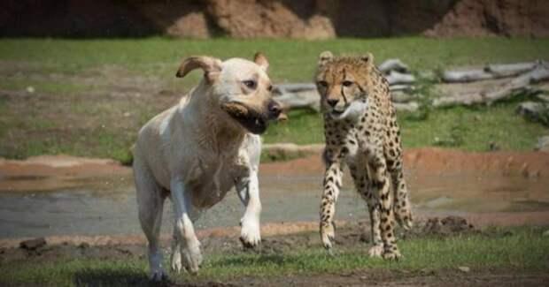 В зоопарке Сан-Диего жизнерадостные лабрадоры спасают гепардов от стресса