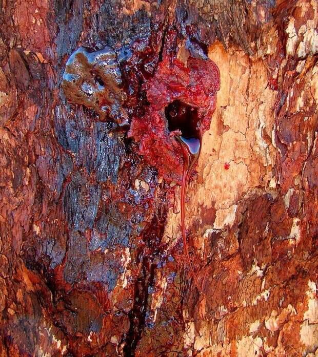 Кровоточащее дерево Pterocarpus angolensis