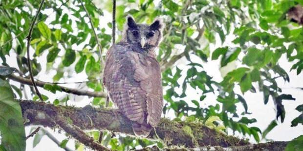 Скрывавшуюся 150 лет от орнитологов сову увидели в лесах Ганы