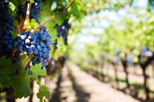 Железный купорос – защитник винограда №1