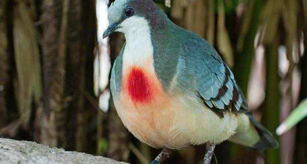 Загадка эволюции: для чего природа наградила голубей «кровавыми пятнами»