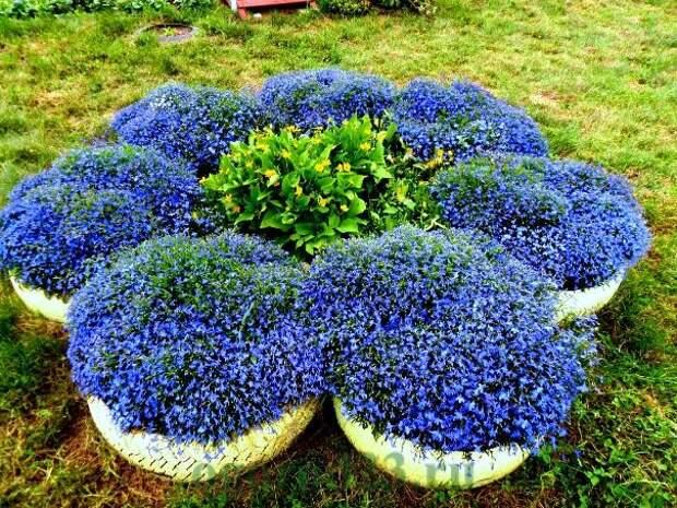 Лобелия: выращивание из семян, технология посадки и ухода.