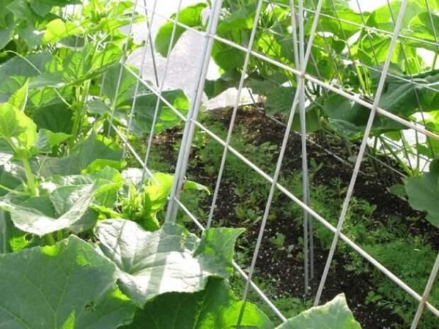 Огурцы в открытом грунте