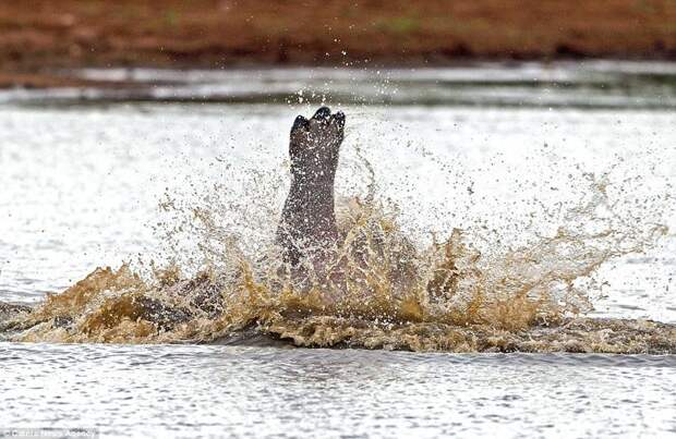 Сама элегантность: бегемотья ножка бегемот, гиппопотам, дикая природа, животные, забавно, природа, редкие кадры, фото