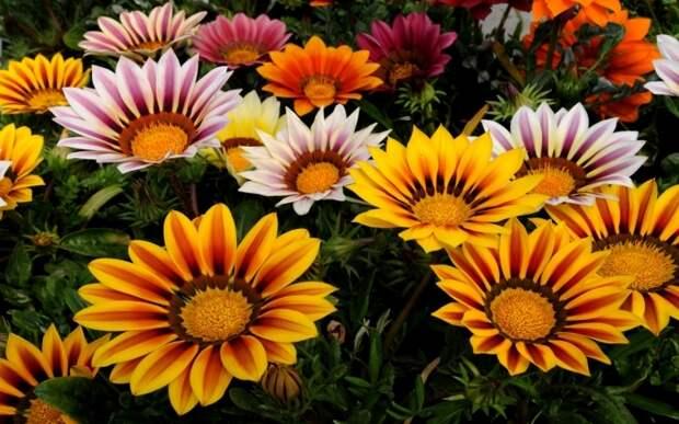 Гацания-цветок - выращивание и уход - FB.ru