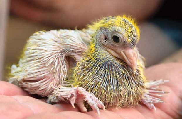 Почему мы никогда не видим птенцов голубей. Они их прячут?