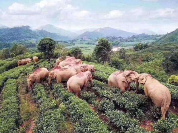 Слоны в Китае искали еду, но нашли 30 литров вина. Кажется, вечеринка прошла хорошо