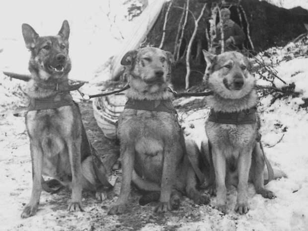 Служебные собаки Карельского фронта./Фото: i1.wp.com