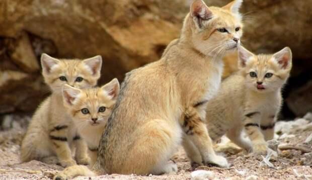 Даже будучи взрослыми, дикие Барханные кошки выглядят как котята