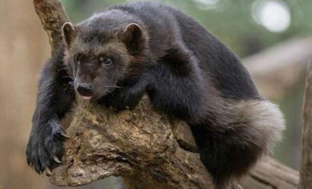 Северный брат медоеда: росомаха гоняет волков и медведей