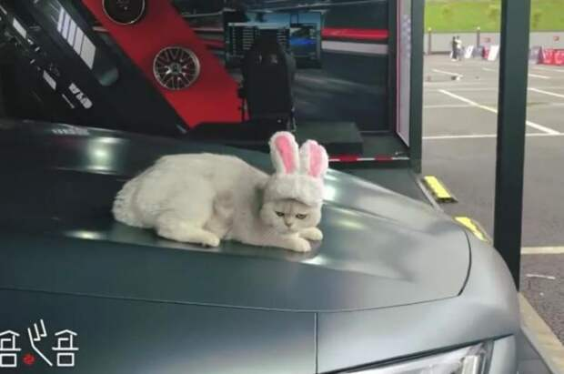 Китайская кошка зарабатывает $1500 за каждую рекламу автомобилей