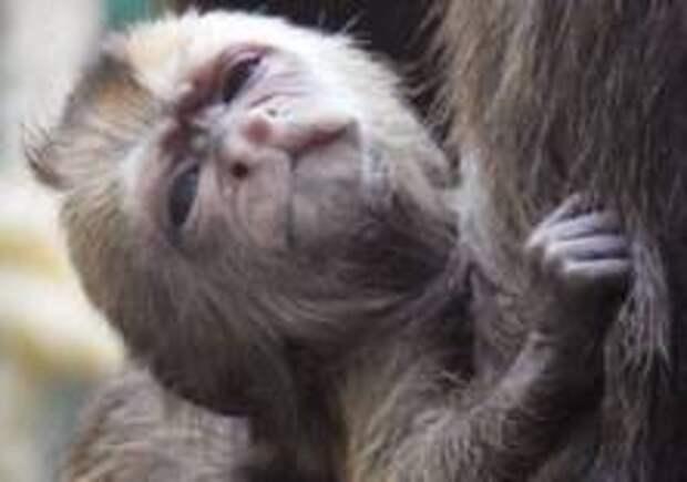 Капуцин плакса родился в Московском зоопарке