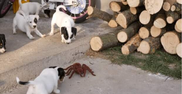 Маленькие щенки против монстроидального паука: так закаляется характер
