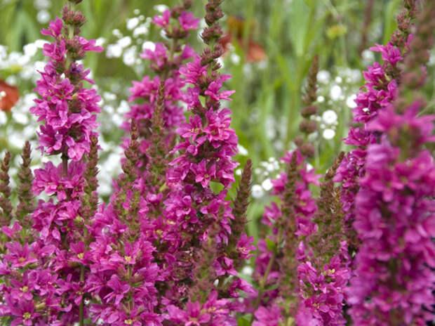 Дербенник lythrum salicaria robert