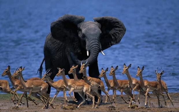 Ещё одна отличительная особенность слона – бивни. Этими видоизменёнными зубами слоны пользуются в драках за самку, бивни самцов гораздо больше чем у самок.
