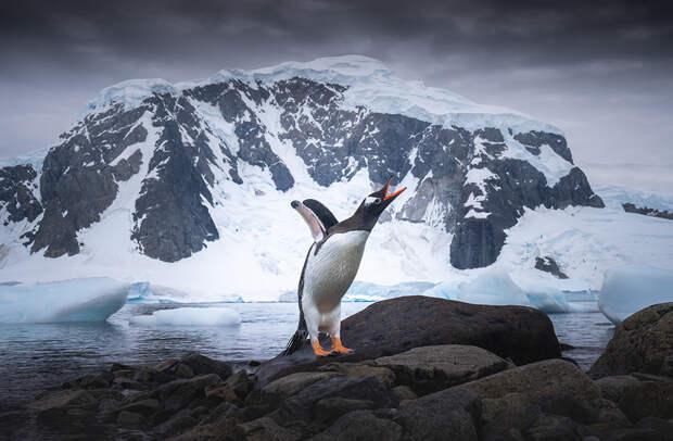 Папуанский, или субантарктический, или ослиный пингвин — один из трех видов, относящихся к роду антарктических пингвинов