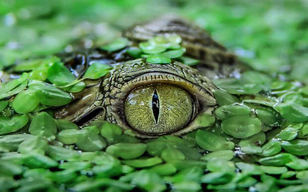 Крокодил в парке Тангеранга, Индонезия