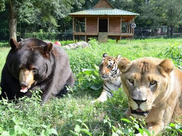Невероятная дружба льва, медведя и тигра потрясла весь мир