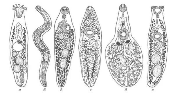 Рибеиря: Паразит, от которого у носителя вырастает много новых конечностей Паразиты, Книга животных, Яндекс Дзен, Длиннопост