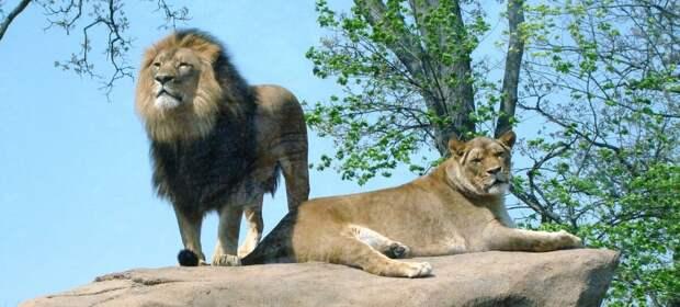 Лев по праву принадлежит к самым крупным хищникам материка. Масса его тела достигает 230 кг. Такой вес позволяет одолеть быка в 2-3 раза крупнее себя. Обитают они в тех местах, где есть водоемы и открытые пространства для свободы передвижений.  Живут семьями.