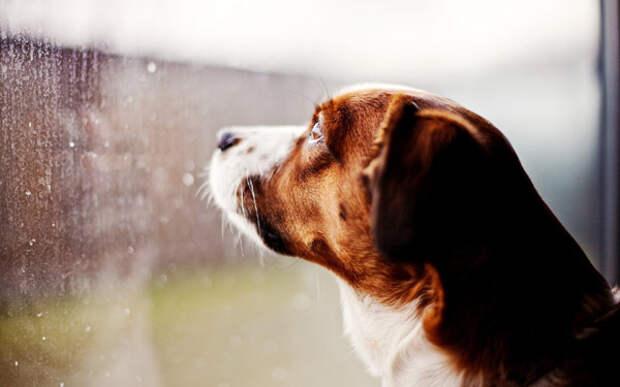 Грустная собака смотрит в окно, фото домашние животные фотография картинка