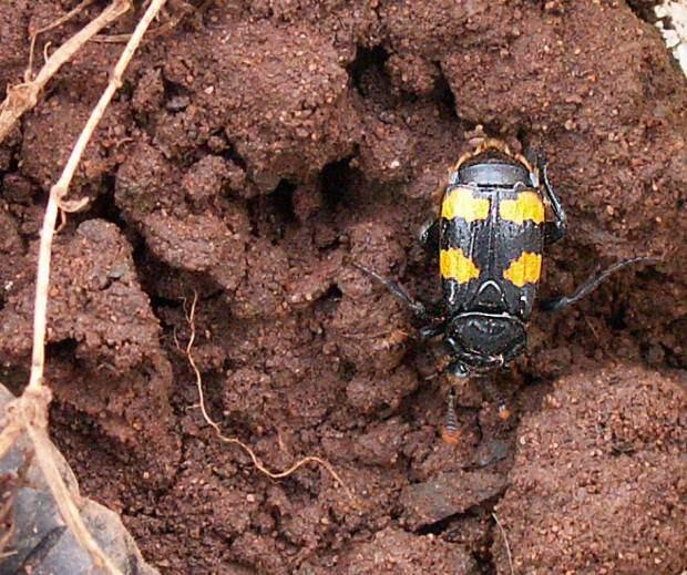 Жуки-могильщики (лат. Nicrophorus) (англ. Sexton Beetle)