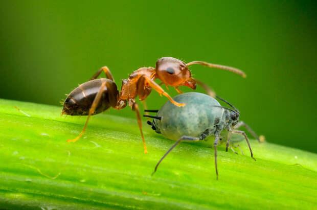 Симбиоз тли и муравья.