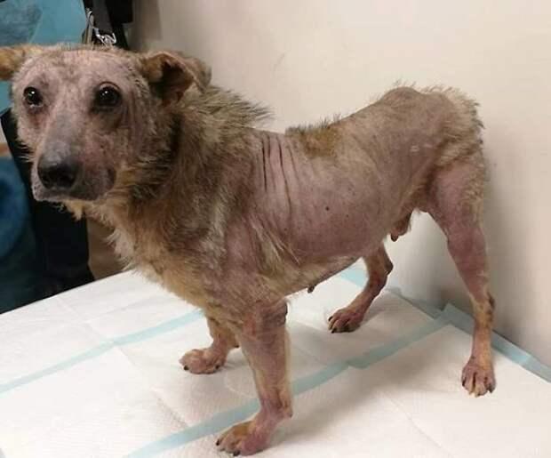 У пса развилась опасная инфекция, его пришлось изолировать от других животных без возможности выходить на прогулку Плуто, животные, история, литва, пес, помощь, преображение, спасение