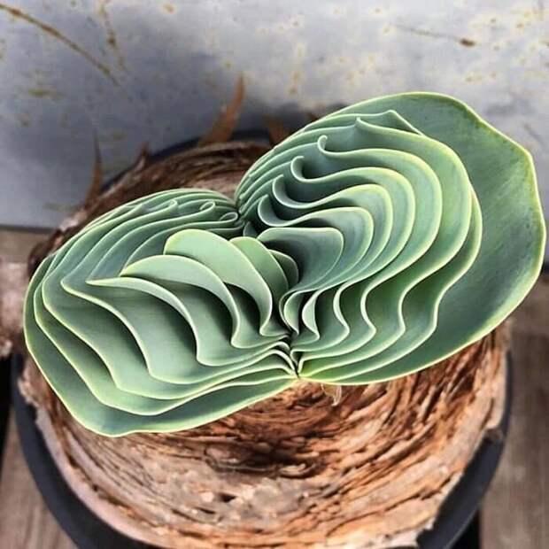 Инопланетные растения: 30 самых причудливых суккулентов