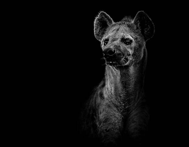 zhivotnye 4 Черно белые портреты диких животных