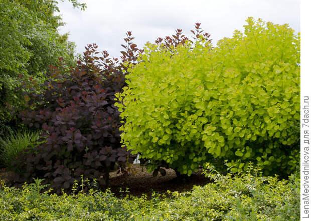 Скумпии в саду. Фото с сайта http://onetwoclick.ru/