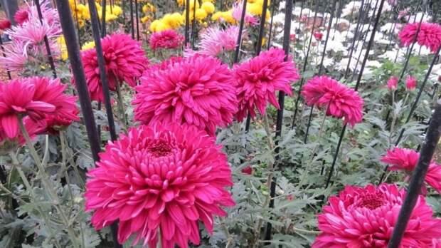 Селекционер рассказала, как в ботаническом саду Крыма вывели хризантему «огненный ангел»