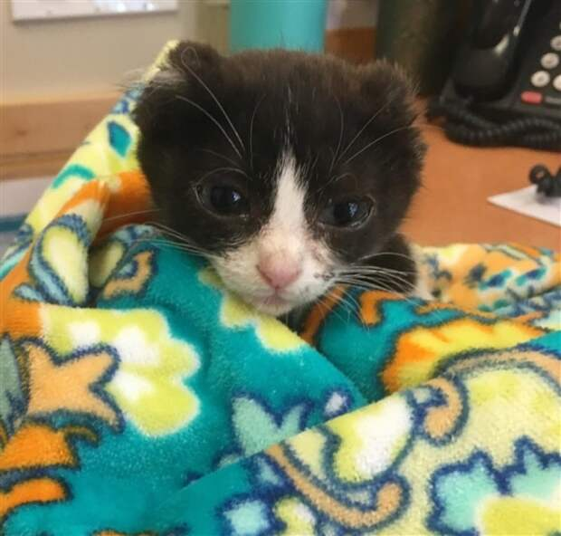котенок без ушей