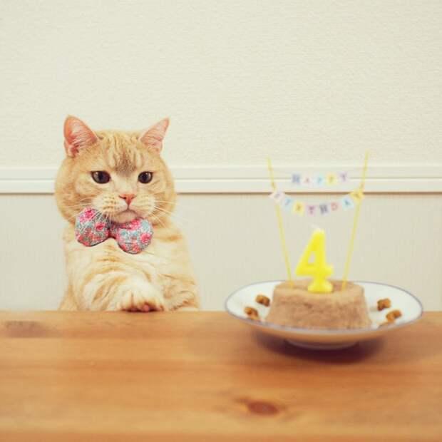 Рыжий манчкин Пух влюбит вас в свою породу кот, манчкин, рыжий кот
