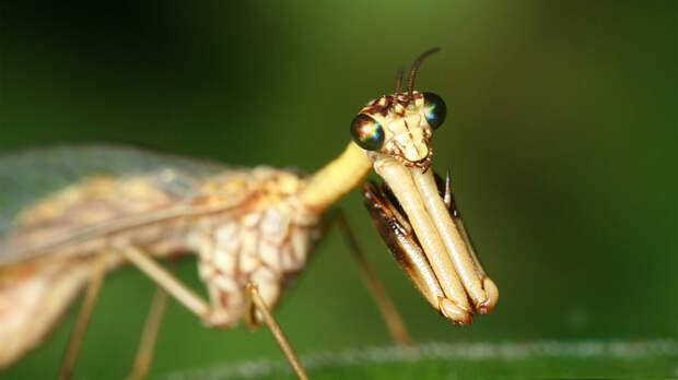 Оса-богомол: Остановите планету, я сойду! Смесь двух опасных насекомых существует в реальности