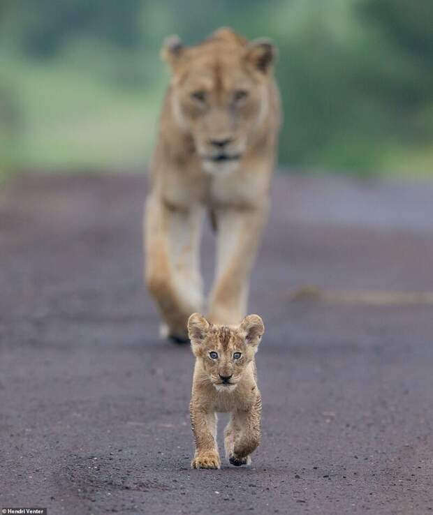 4. Хендри Вентер (Hendri Venter) дикая природа, дикие животные, животные, лучшие фото, львы, подборка, фото, хищники